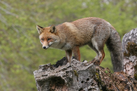 ON THE TRAIL OF THE FOX – Sur les traces du renard 5