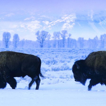 Bison bison:  Bison walking slowly through snow.  Yellowstone National Park, WY.